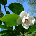 Magnolia sieboldii wc Myohyang LH July 11, 2014;