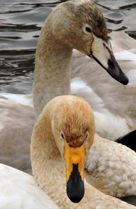 Referenser: Rees E.C. et al. 1993: International collaborative study of Bewick's Swans nesting in the European Northeast of Russia. The Russian Journal of Ornithology