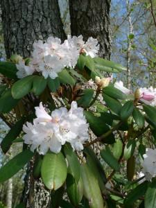 Rhododendron sutchuenense x R. (watsoni x rufum) Lassas Hagar