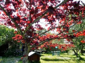 Acer platanoides 'Fassen's Black
