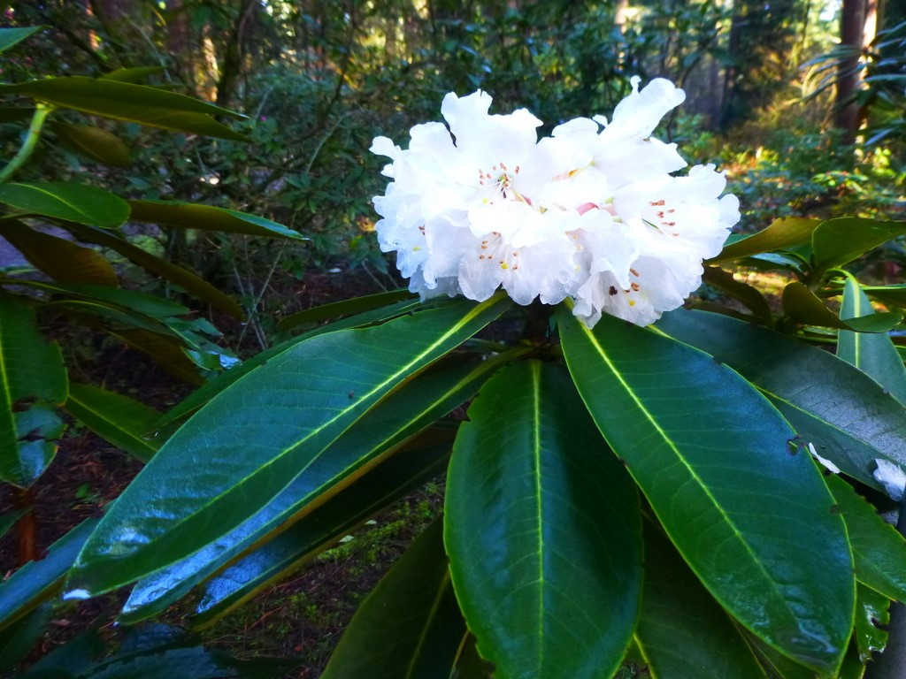 Rhododendron watsonii SEH#26015 147sd2006 – Rhododendron Species ...